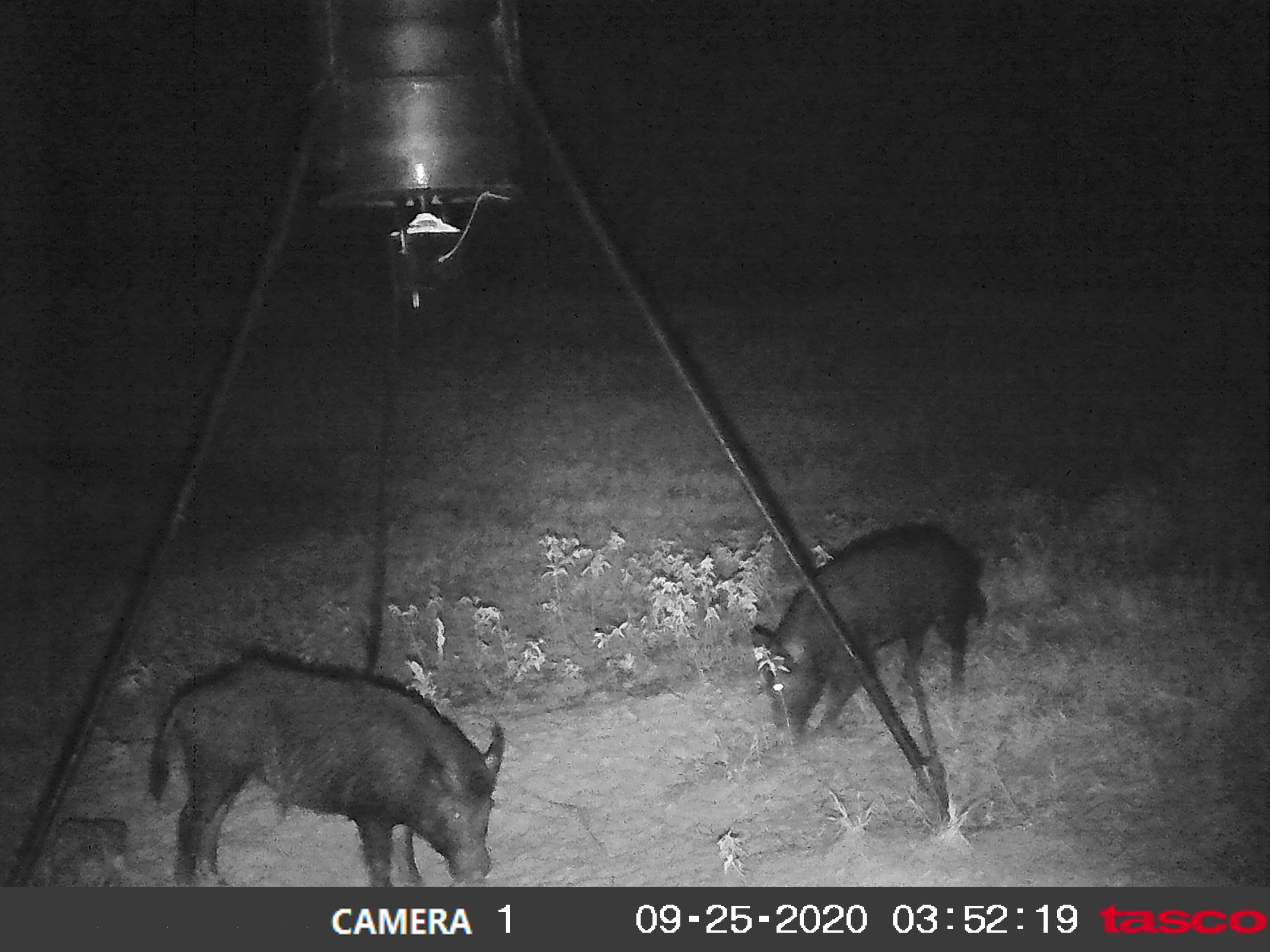 2 pigs 9.25. 3 52 am.jpg