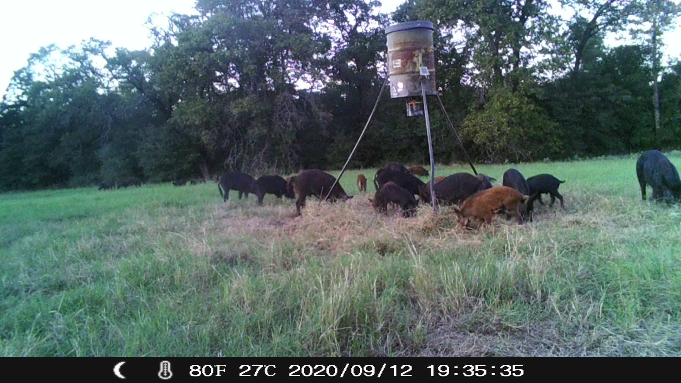 huge group pig 9.12.20. 7 35 pm.jpg