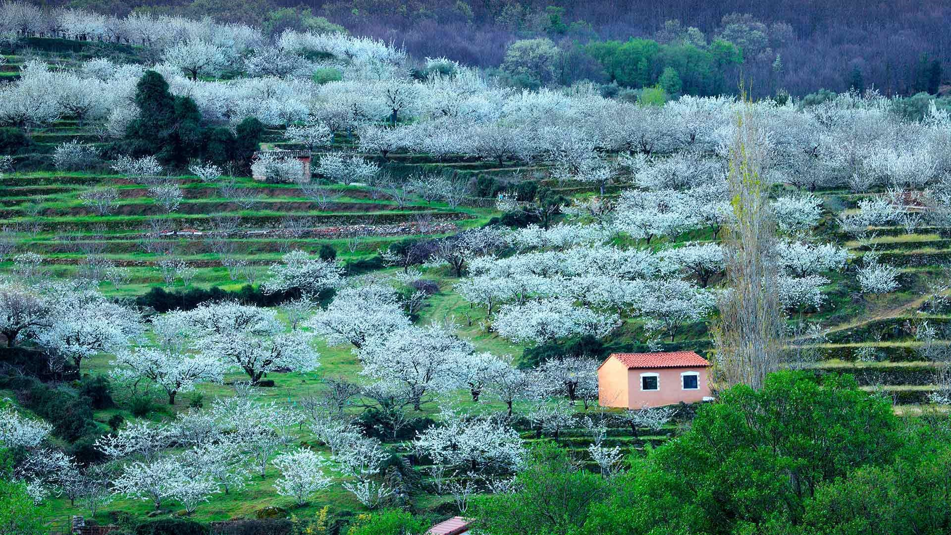 Jerte Valley Spain, with cherry blossoms in bloom.jpg