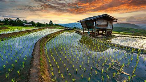 Rice terrace fields in Chiang Mai Province, Thailand.jpg